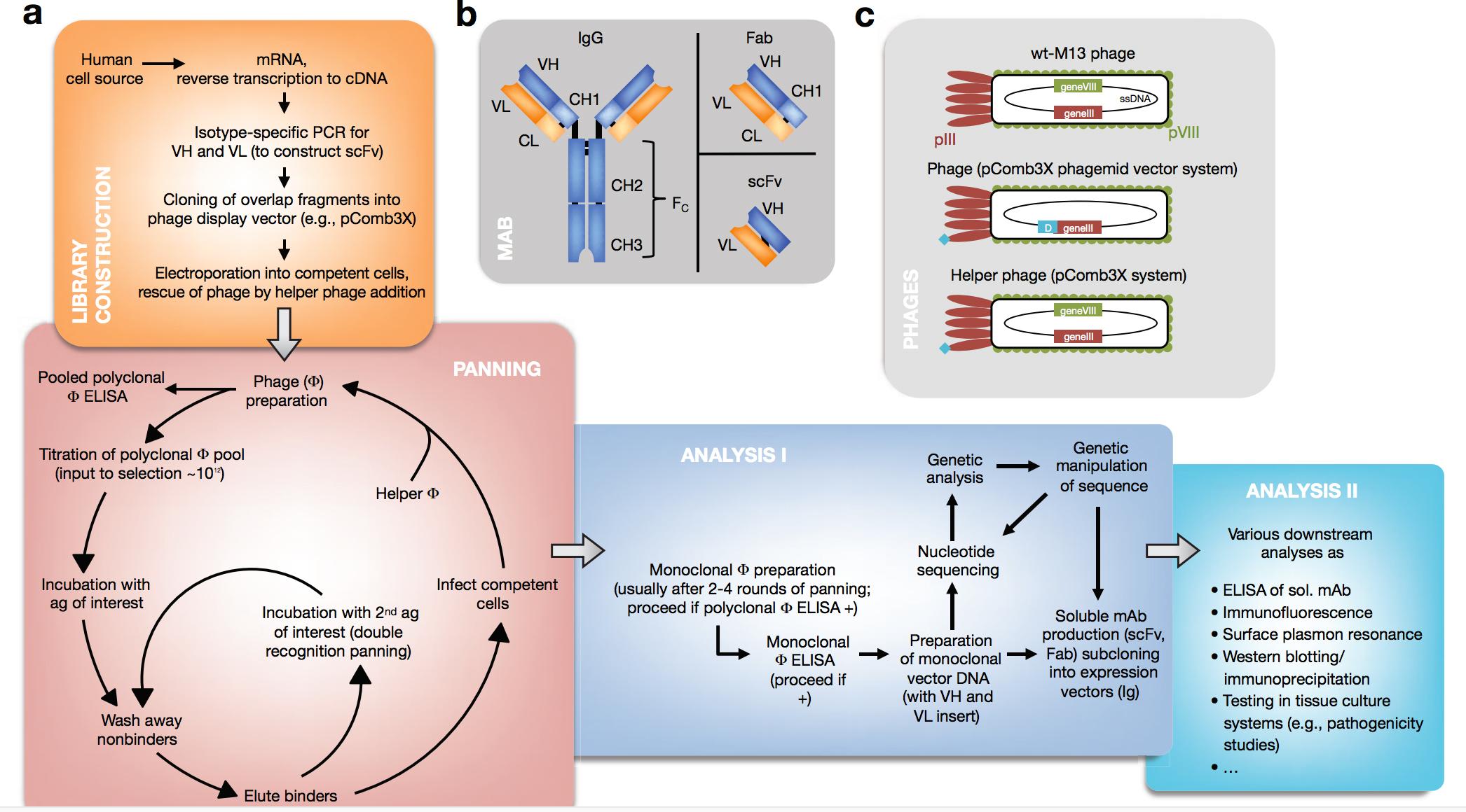 Antibody-Phage-Display-Library-Construction-image-large