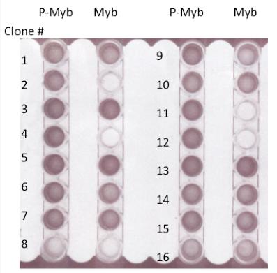 ScFv-PhospoPeptide-ELISA-2